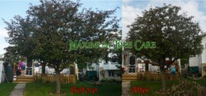 Crab Apple Before & After